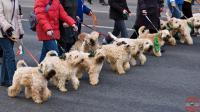 собаки цвета пенки Гиннесса